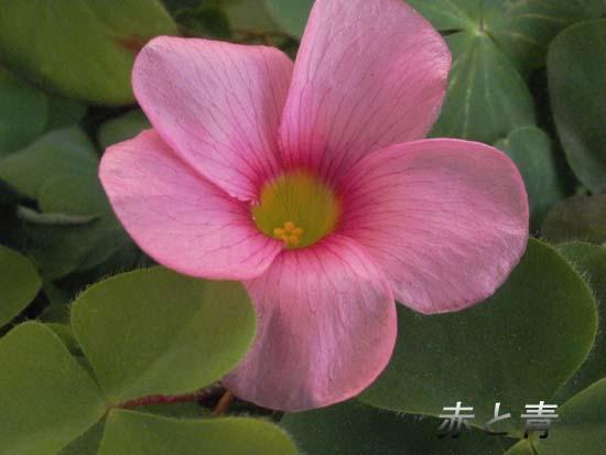 小さな花オキザリス.jpg