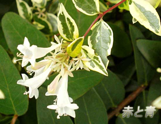 白い花☆.jpg