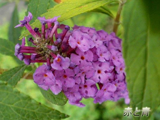 赤紫色の花2.jpg